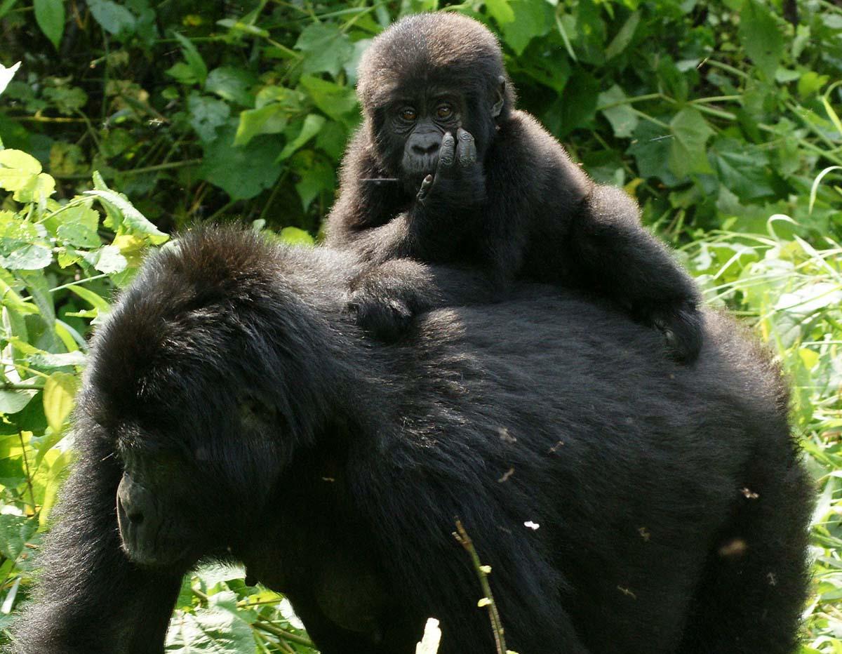 Gorillas_in_Uganda